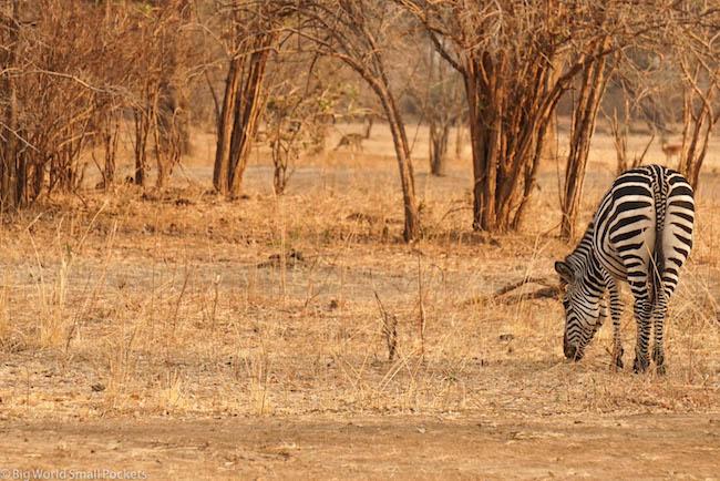Zambia, South Luangwa NP, Solo Zebra