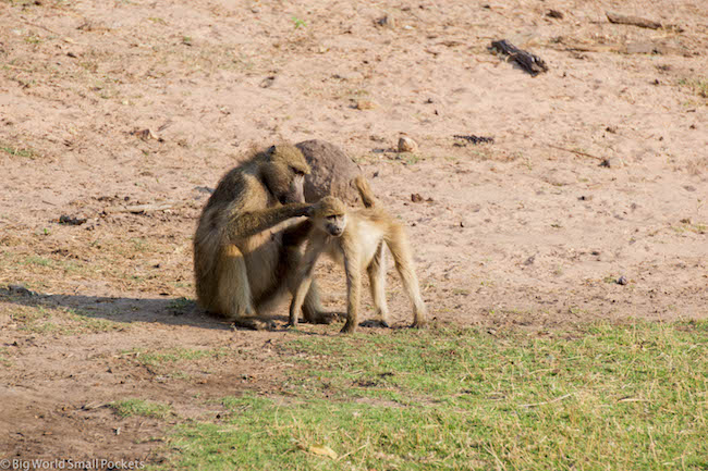 Botswana, Chobe National Park, Baboons 1