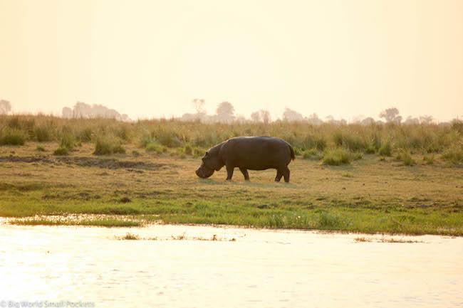 Botswana, Chobe National Park, Hippo on Land