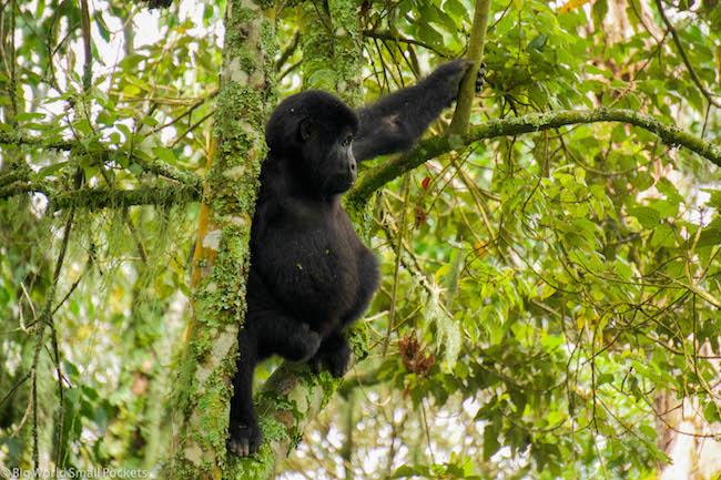 Uganda, Bwindi, Gorilla Time