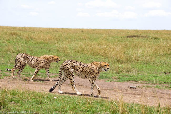 Kenya, Masai Mara, Cheetahs Stalking