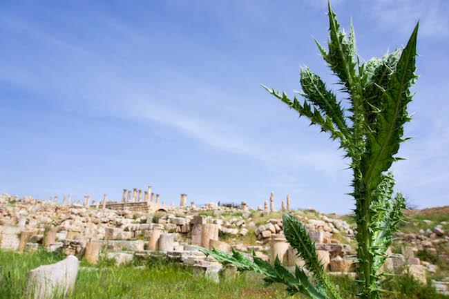 Jordan, Jerash, Thistle