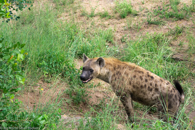 South Africa, Kruger, Hyena