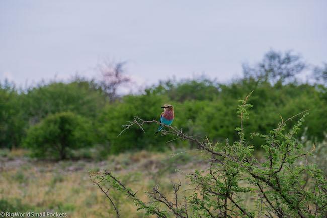 Namibia, Etosha, Bird