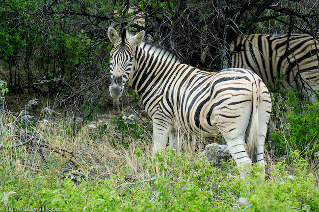 Namibia, Etosha NP, Zebra