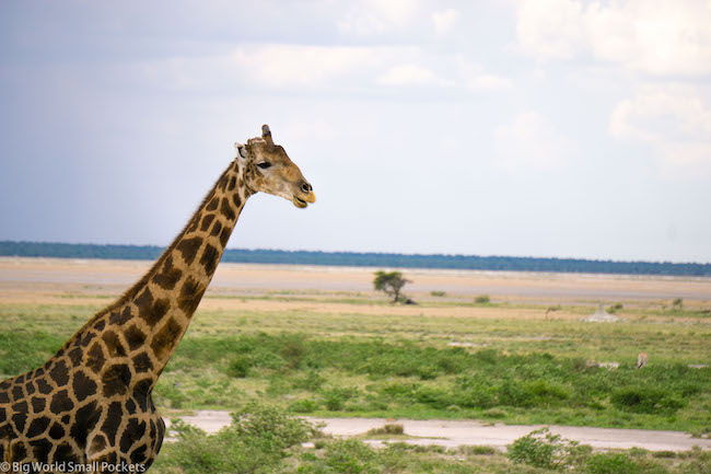 Namibia, Etosha National Park, Giraffe