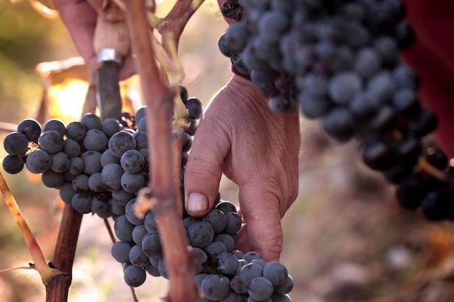 Spain, Vivanco, Grapes