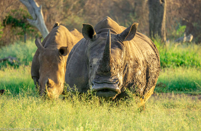 eSwatini, Hlane Royal National Park, Rhino