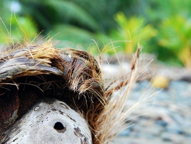 Central America, Costa Rica, Coconut