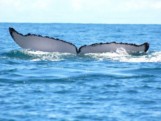 Central America, Costa Rica, Whale