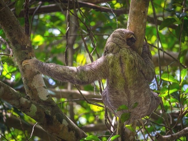 Costa Rica, Manuel Antonio, Sloth