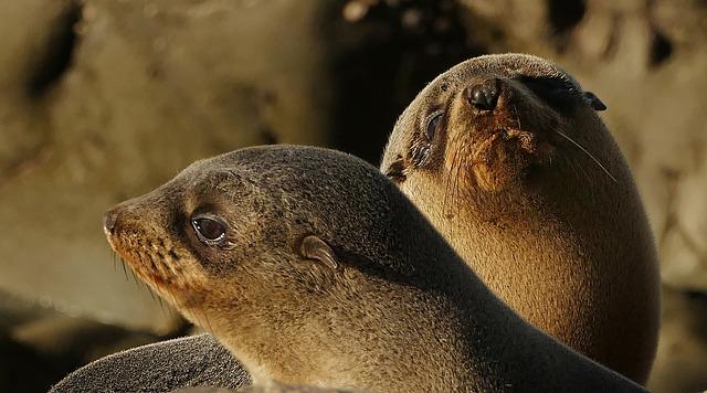 New Zealand, Seal, Pups