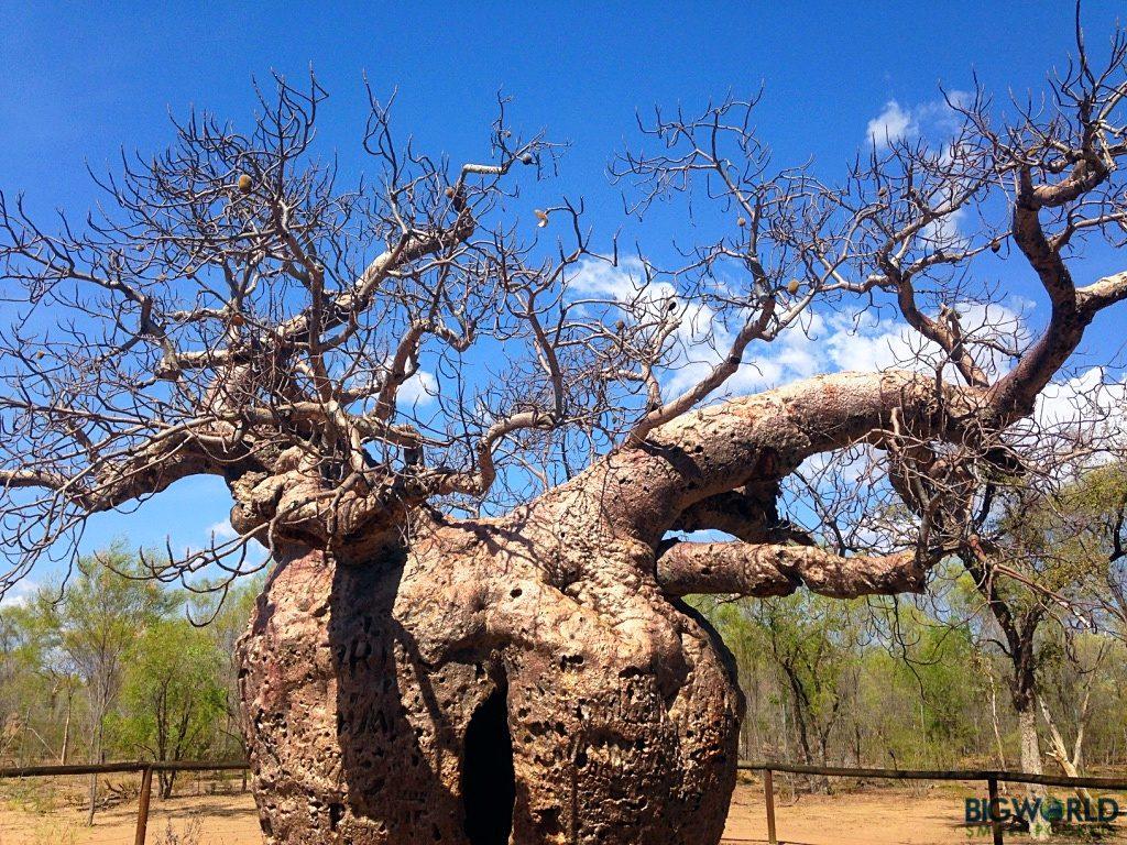 prison-boab-tree