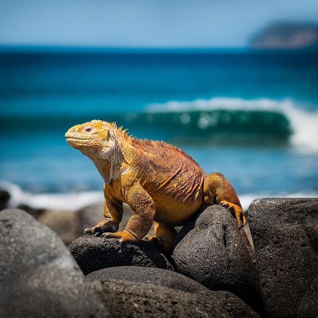 Ecuador, Galapagos, Iguana