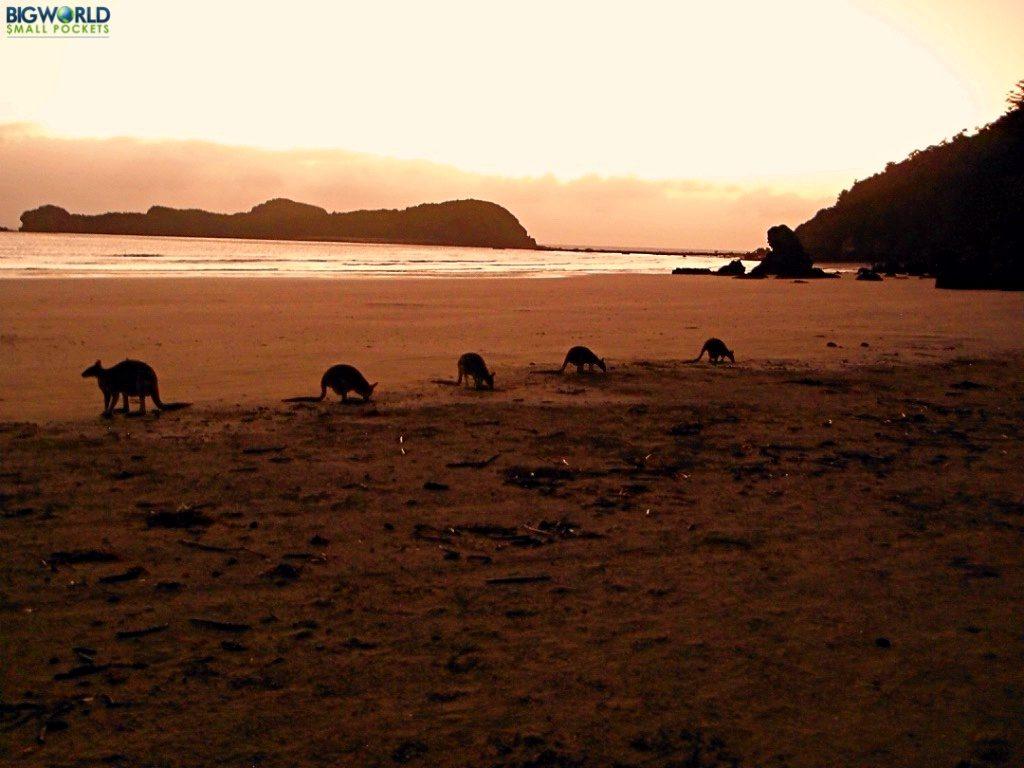 wallabies-at-dawn
