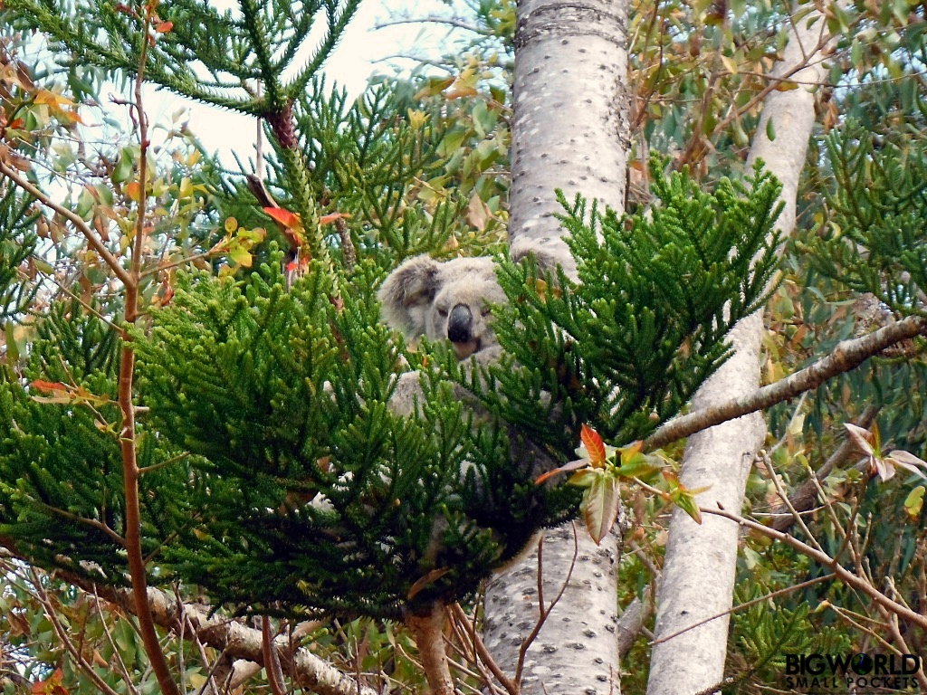 Australia, Magnetic Island, Koala in Tree