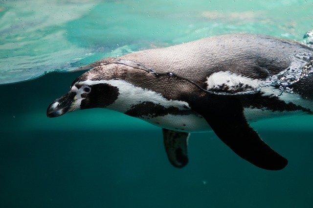 Antartica, Penguin, Underwater