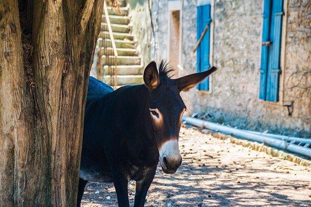 Croatia, Islands, Donkey