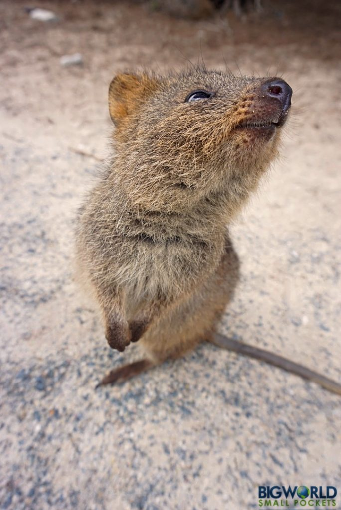 Australia, Rottnest, Standing Quokka