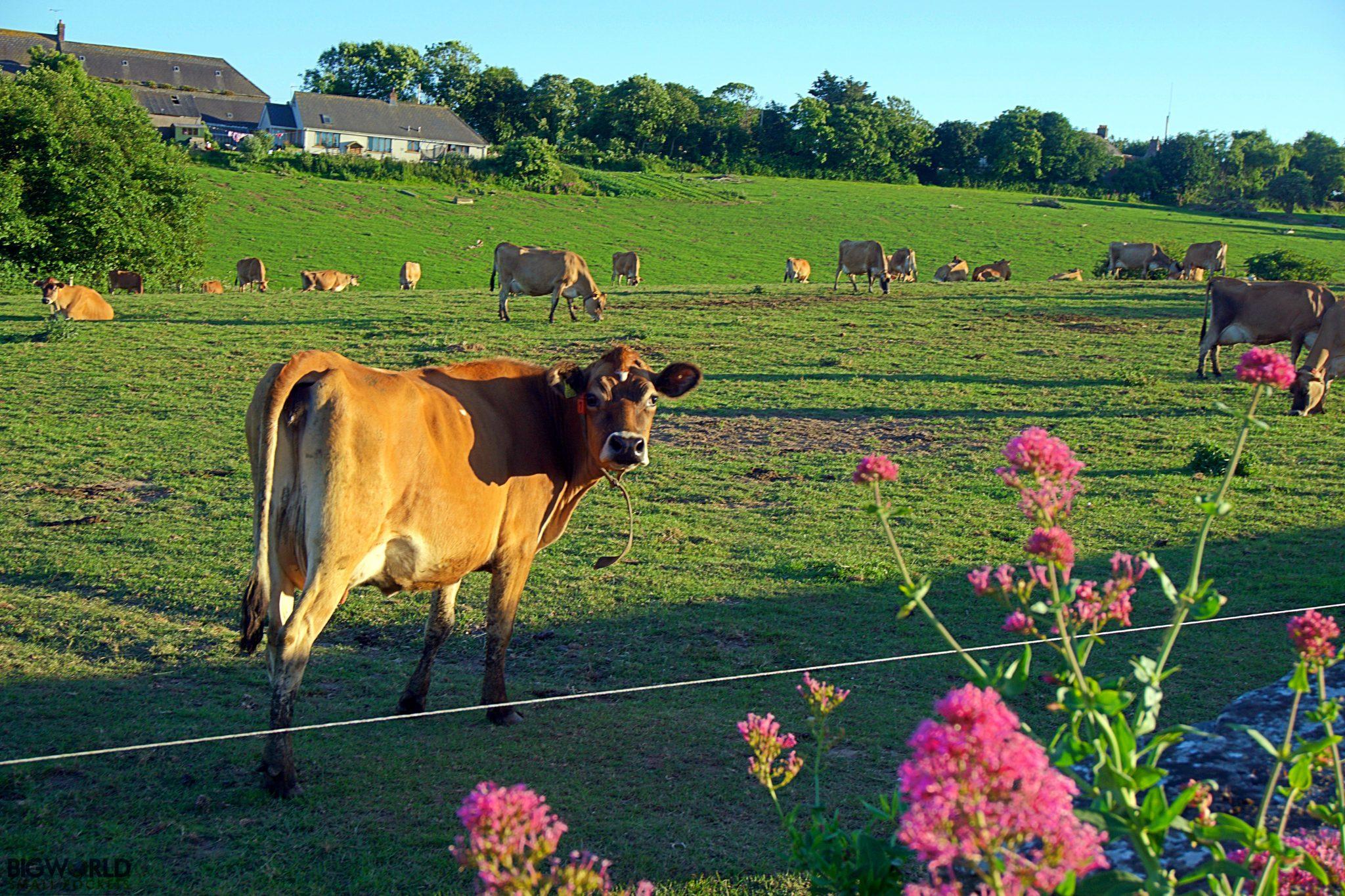 Channel Islands, Jersey, Cow