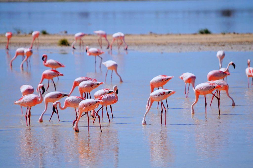 Etosha Flamingos