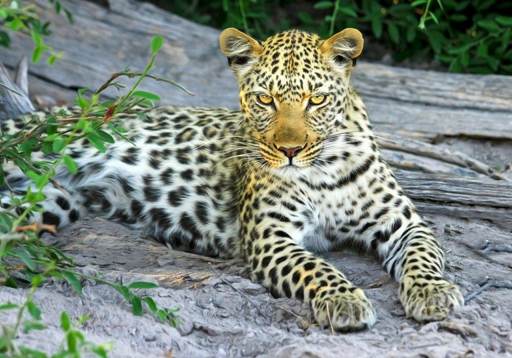 Krugar Leopard