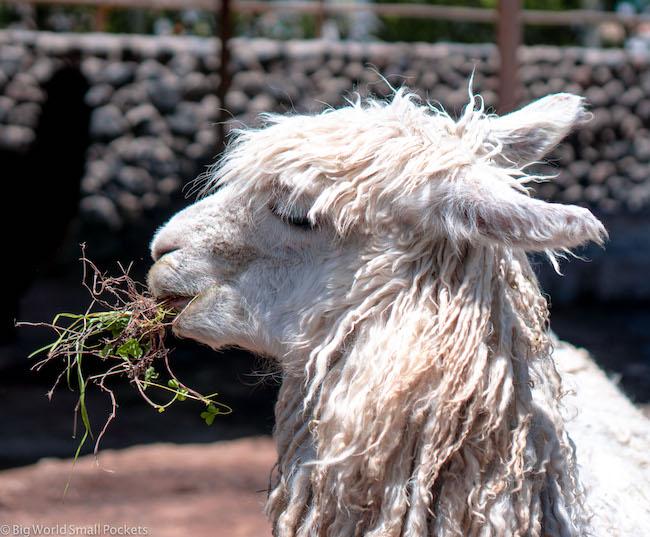 Peru, Arequipa, Llama