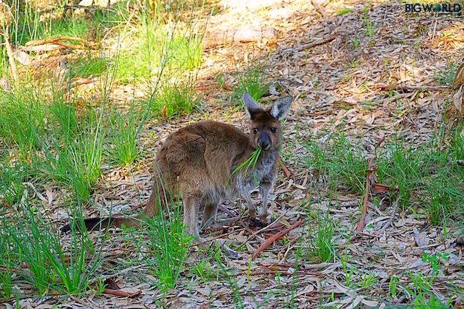 Australia, Yanchep National Park, Kangaroo