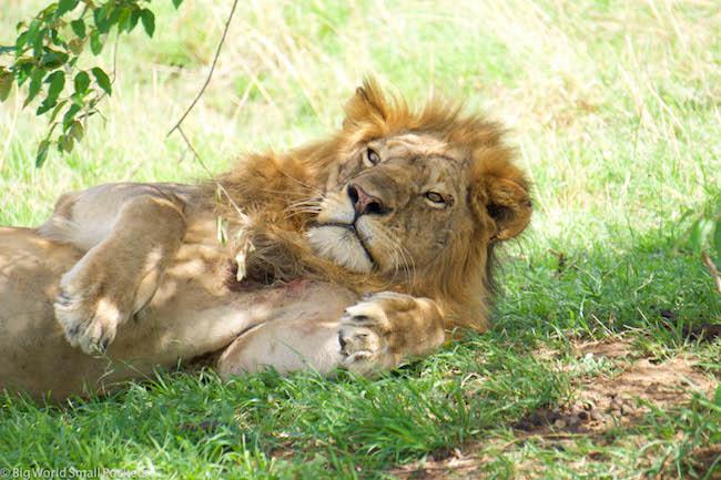 Kenya, Masai Mara, Male Lion