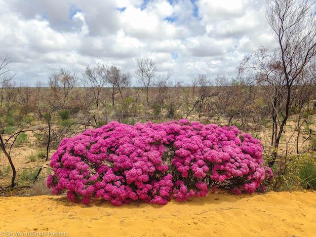Australia, Kalbarri, Wildflowers
