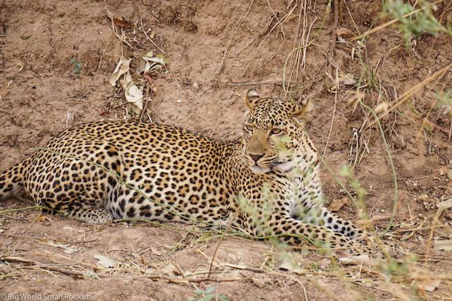 Absolute Africa, Zambia, Leopard