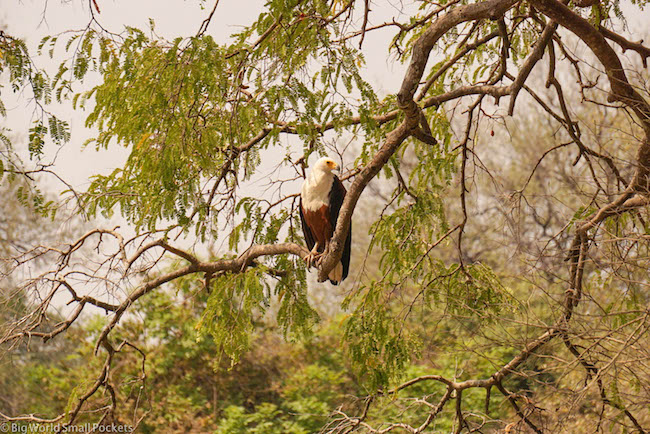 Zambia, South Luangwa NP, Eagle