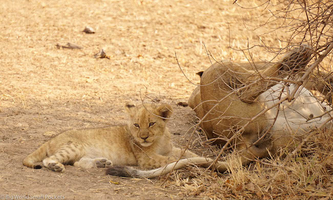 Africa, Safari, Lion Cub