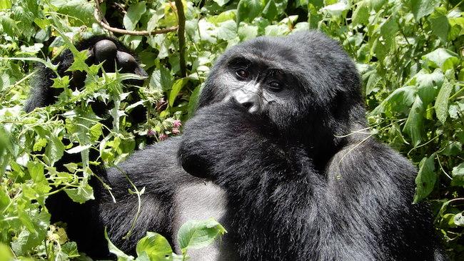 Africa, Safari, Uganda Gorilla