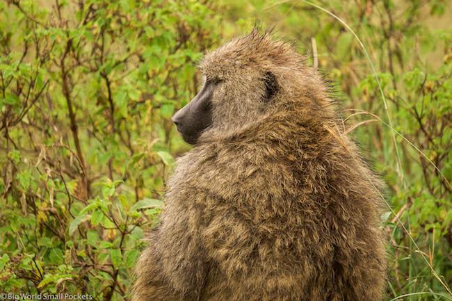 Kenya, Lake Nakuru, Baboon