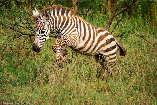 Kenya, Lake Nakuru, Leaping Zebra