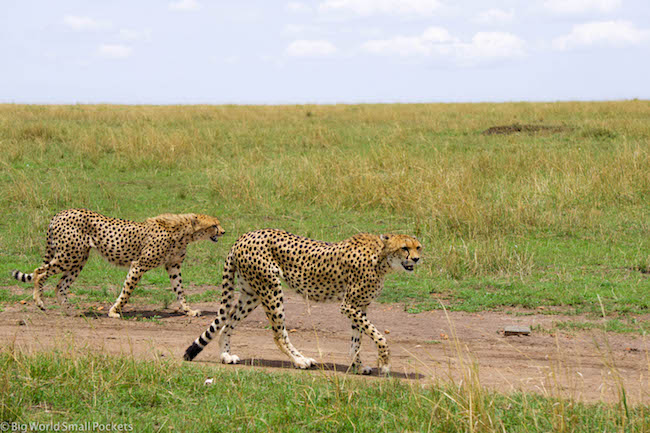 Kenya, Masai Mara, Cheetahs