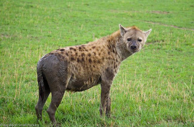 Kenya, Masai Mara, Hyena