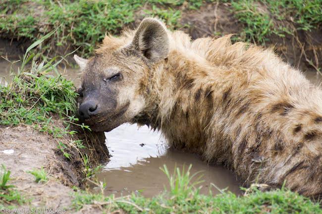 Kenya, Masai Mara, Smiling Hyena