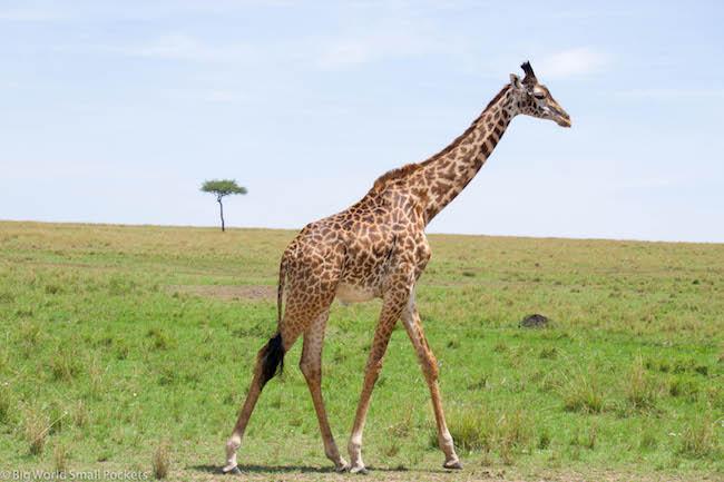 Kenya, Masai Mara, Striding Giraffe