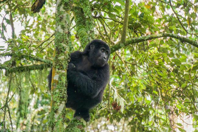 Uganda, Bwindi Forest, Gorilla Profile
