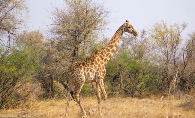 Zambia, South Luangwa NP, Giraffe