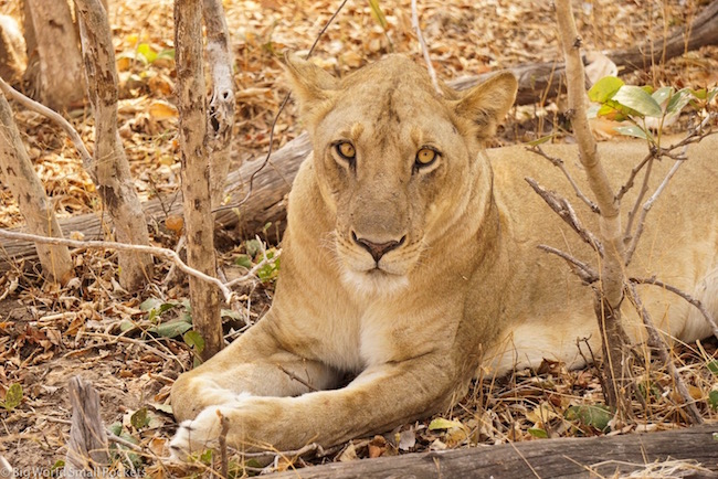 Zambia, South Luangwa NP, Lionness