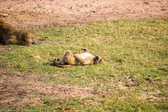 Botswana, Chobe National Park, Baboons 2