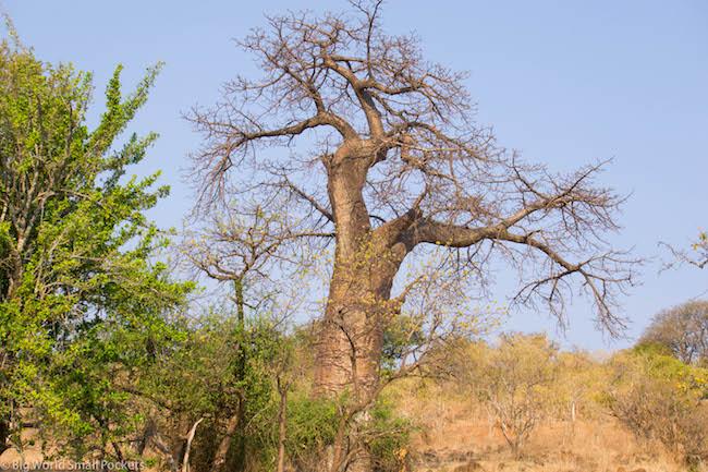 Botswana, Chobe National Park, Boab Tree