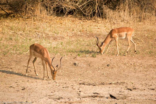 Botswana, Chobe National Park, Impala