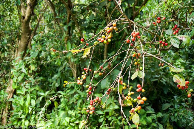 Ethiopia, Bahar Dar, Coffee Plant
