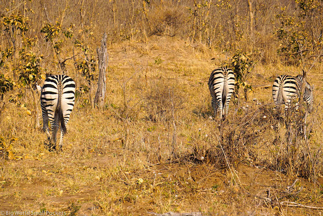 Zambia, South Luangwa NP, Zebra Butts