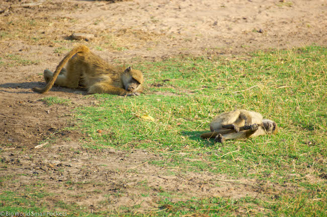 Botswana, Chobe River, Monkeys