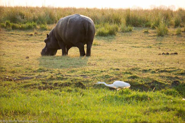 Botswana, Chobe River, Stadning Hippo